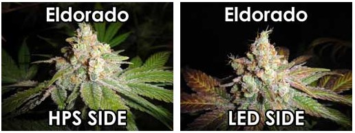 led vs hps grown bud